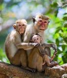 Familie von den Affen, die in einem Baum sitzen Lustige Abbildung Sri Lanka Stockfotografie