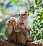 Familie von den Affen, die in einem Baum sitzen Lustige Abbildung Sri Lanka Stockbilder
