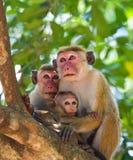 Familie von den Affen, die in einem Baum sitzen Lustige Abbildung Sri Lanka Lizenzfreie Stockfotografie