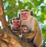 Familie von den Affen, die in einem Baum sitzen Lustige Abbildung Sri Lanka Lizenzfreies Stockbild