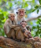 Familie von den Affen, die in einem Baum sitzen Lustige Abbildung Sri Lanka Lizenzfreie Stockfotos