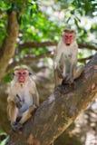 Familie von den Affen, die in einem Baum sitzen Lustige Abbildung Sri Lanka Stockfoto