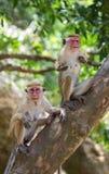 Familie von den Affen, die in einem Baum sitzen Lustige Abbildung Sri Lanka Stockfotos