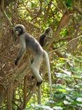 Familie von den Affen (Makaken Krabbe-essend) stillstehend auf Reben Lizenzfreie Stockfotos