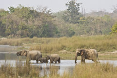 Familie von den asiatischen Elefanten, die den Fluss, Nationalpark Bardia, Nepal kreuzen Lizenzfreies Stockfoto