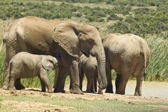 Familie von den Elefanten, die an einer Wasserstelle stehen Lizenzfreies Stockfoto