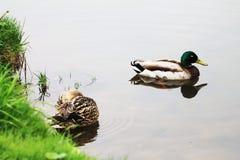 Familie von den Enten, die auf der Bank des Flusses während des Frühlingsregens stillstehen stockbilder