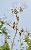 Familie von den Nasenaffen, die auf einem Baum im wilden grünen Regenwald auf Borneo-Insel sitzen Lizenzfreie Stockfotografie