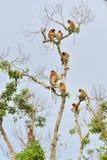 Familie von den Nasenaffen, die auf einem Baum im wilden grünen Regenwald auf Borneo-Insel sitzen Lizenzfreies Stockfoto
