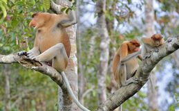 Familie von den Nasenaffen, die auf einem Baum im wilden grünen Regenwald auf Borneo-Insel sitzen Das Nasenaffe Nasalis larvatu Stockfotografie