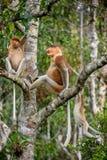 Familie von den Nasenaffen, die auf einem Baum sitzen Stockfotos