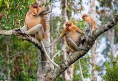Familie von den Nasenaffen, die auf einem Baum sitzen Lizenzfreie Stockfotos