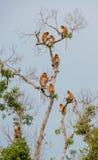 Familie von den Nasenaffen, die auf einem Baum sitzen Lizenzfreie Stockbilder
