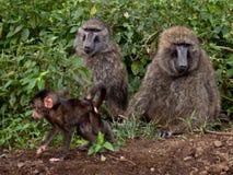 Familie von den Pavianen, die aus den Grund sitzen Lizenzfreie Stockfotos