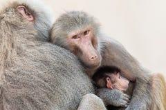 Familie von den Pavianen sehr, die nah zusammen sitzen Stockbilder