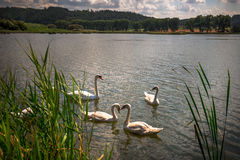Familie von den Schwänen, die auf einen Teich schwimmen Lizenzfreies Stockbild