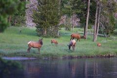 Familie von Elchen in Yellowstone Lizenzfreie Stockbilder