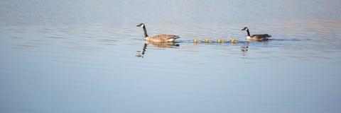 Familie von Enten Stockfotografie