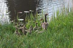 Familie von Enten auf dem See Stockbild