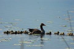 Familie von Enten auf dem See Lizenzfreie Stockfotos