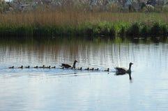 Familie von Enten auf dem See Stockbilder