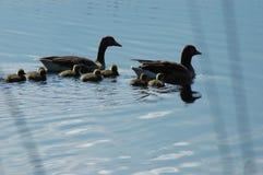 Familie von Enten auf dem See Stockfotografie