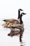 Familie von Gänsen Lizenzfreies Stockfoto