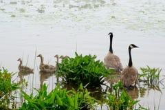 Familie von Gänsen im Nebel Lizenzfreies Stockfoto