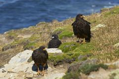 Familie von gestreiften Falken auf der Küste von Karkassen-Insel Lizenzfreie Stockbilder