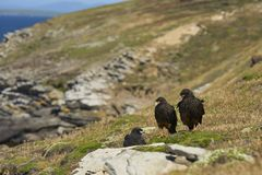 Familie von gestreiften Falken auf der Küste von Karkassen-Insel Stockfotos