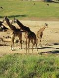 Familie von Giraffe& x27; s lizenzfreie stockfotografie
