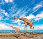 Familie von Giraffen lizenzfreie stockfotografie