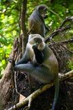 Familie von grauen Affen auf Sansibar-Insel Lizenzfreies Stockfoto