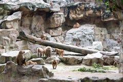 Familie von Hamadryas-Pavian in einer Höhle in einem Park in Singapur Lizenzfreie Stockfotografie