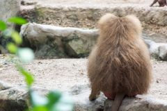 Familie von Hamadryas-Pavian in einer Höhle in einem Park in Singapur Lizenzfreie Stockfotos
