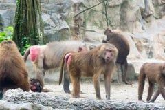 Familie von Hamadryas-Pavian in einer Höhle in einem Park in Singapur Stockfotografie