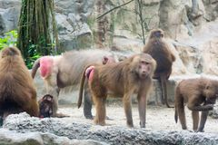 Familie von Hamadryas-Pavian in einer Höhle in einem Park in Singapur Lizenzfreies Stockfoto