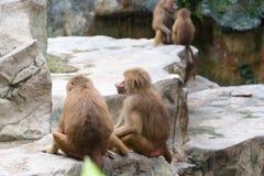 Familie von Hamadryas-Pavian in einer Höhle in einem Park in Singapur Stockfoto