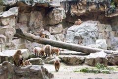 Familie von Hamadryas-Pavian in einer Höhle in einem Park in Singapur Stockfotos