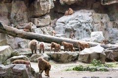Familie von Hamadryas-Pavian in einer Höhle in einem Park in Singapur Stockbilder