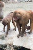 Familie von Hamadryas-Pavian in einer Höhle in einem Park in Singapur Stockbild