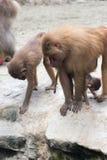 Familie von Hamadryas-Pavian in einer Höhle in einem Park in Singapur Lizenzfreies Stockbild