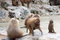 Familie von Hamadryas-Pavian in einer Höhle in einem Park in Singapur Lizenzfreie Stockbilder