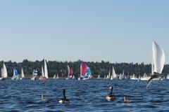 Familie von Kanada-Gänsen, die ein Segelboot aufpassen, laufen Stockbild