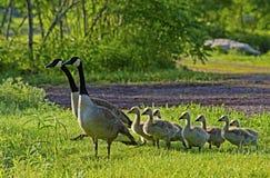 Familie von Kanada-Gänsen im grünen Gras Lizenzfreie Stockfotografie