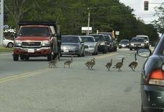 Familie von Kanada-Gänsen, welche die Straße kreuzen lizenzfreies stockbild