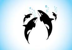 Familie von Killerwalen schwimmen u. zusammen atmend innerhalb des Ozeans Stockfoto