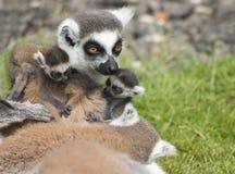 Familie von Lemurs Lizenzfreies Stockfoto