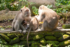 Familie von long-tailed Macaques Lizenzfreie Stockfotos