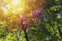 Familie von Madagaskar-Makis Lizenzfreies Stockfoto